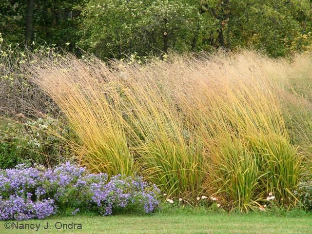 Incorporating ornamental grasses into your landscape zen for Purple grasses for landscaping