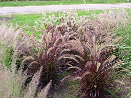 09- Purple Fountain Grass