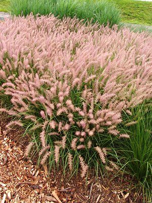 10 - Pink Fountain Grass