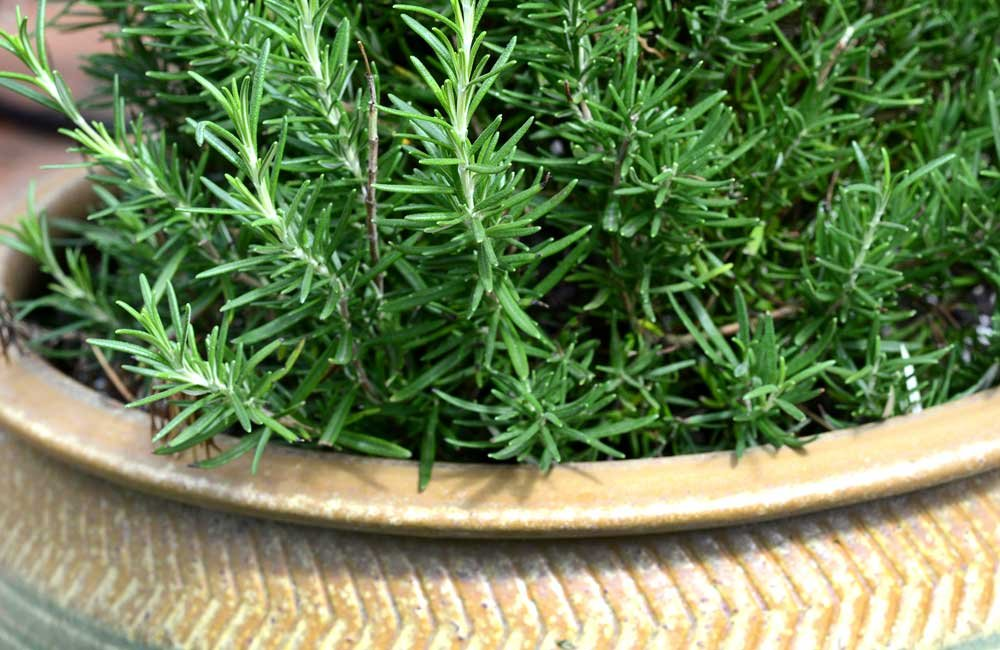 Rosemary - Keep the Mosquitoes Away